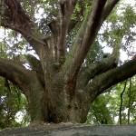 big tree 2