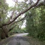 big trees1