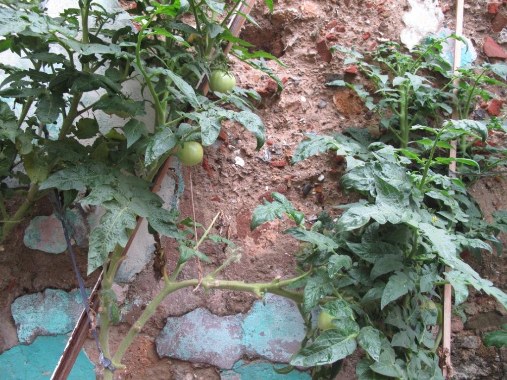 Casco Viejo tomato 1