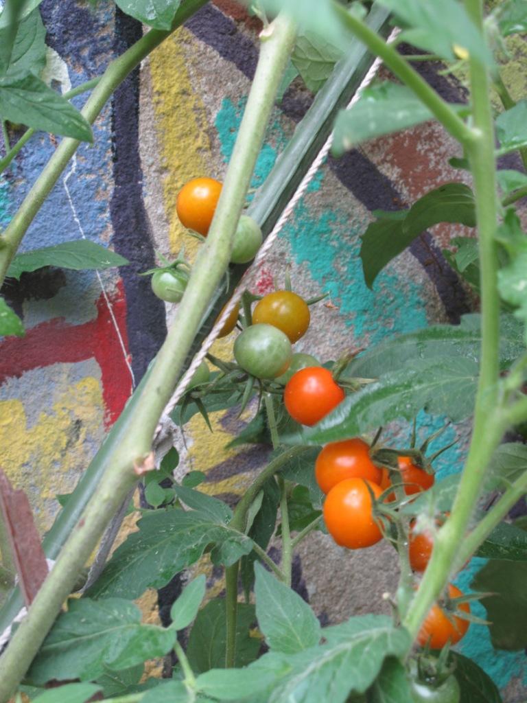 cherry tomatoes Casco